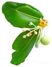 Aceite de Tamanu Puro Puro y Organico Colombia