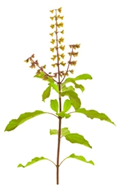 Aceite esencial de albahaca con linalool orgánico I Puro y Organico Colombia