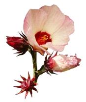 Aceite vegetal orgánico de hibisco Puro y Organico Bogota Colombia