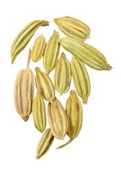anis-pimpinella anisum Bogota Colombia Puro y organico