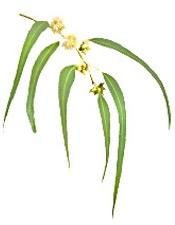 Aceite esencial de Cajeput  puro y organico Colombia