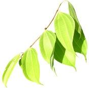 Aceite de canela 30ml Bogota Colombia Cinnamomum zeylanicum