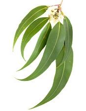 Aceite Esencial de Eucalipto Radiata Organico 10ml I Tienda Puro y Organico Colombia