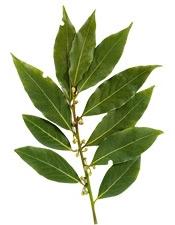Aceite esencial de laurel noble Puroyorganico