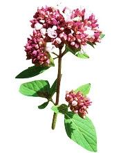 Aceite esencial de orégano orgánico Puro y Organico Colombia