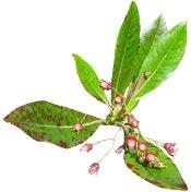 Aceite esencial de palo de rosa ORGÁNICO Aroma-Zone