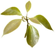 Aceite Esencial de Palo de Rosa Organico 10ml Bois de Ho Bio Bogota Colombia