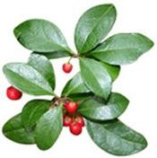 Aceite esencial de Gaultheria Wintergreen oil Colombia