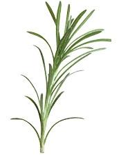 Aceite esencial de romero orgánico de alcanfor