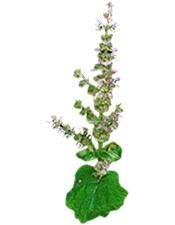 Aceite esencial de Salvia 10ml Puro 100% Bogota Colombia