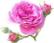 rosa de damas Bogota Colombia Puro y Organico Colombia
