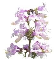 Hydrolato de Salvia Sclarea Bogota Colombia