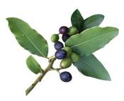 Aceite vegetal de laurel Puro y Organico Colombia