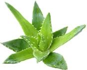 Aroma-Zone Organic Aloe vera AceiteBogota Colombia
