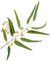 Aceite esencial de eucalipto orgánico eucaliptus citriodora Bogota