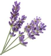 Aceite esencial de lavanda vraie Lavandula angustifolia Bogota Colombia