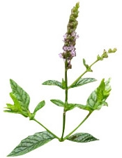 Aceite esencial de menta orgánica Puro y Organico Bogota Colombia