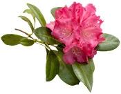 Aceite esencial de Rhododendro ( Ericacées ) Bogota Colombia