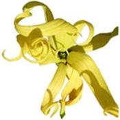 Aceite esencial orgánico de Ylang Ylang Puro y Organico Bogota Colombia